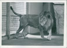 Captive lion looking at something.
