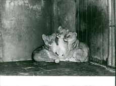 Three lion cubs in the cage, sitting together.
