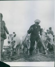People walking with their cows in field during Sweden-Finland Relation, 1944.