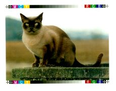 The Burmese Cat.
