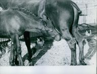 A foal standing looking at udder of mare.