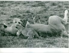 Photograph of lion and cubs.