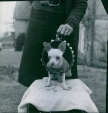 A dog sitting on white cloth with a man behind him holding a belt.