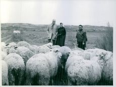 Lorne Greene with a lady visiting a  flock of sheep.
