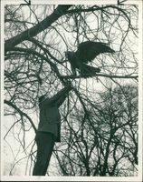 Joe McCorry recapturing a golden eagle.