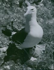 An albatress guarding her chick from the scavenging Skuas.
