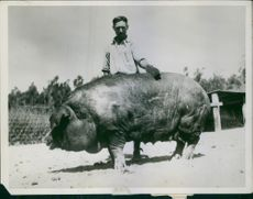 A photo of a man standing beside his huge pet pig.