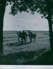 Man holding snaffle and walking with two horses.