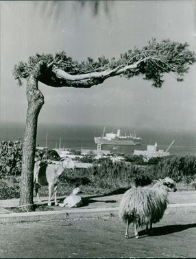 Picture shows two goats tied to a tree in Greece. 1966.