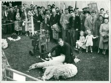 Royal Norfolk Show Sheep shearing