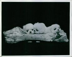A photograph of three Pekingese dogs.