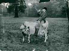 "Tim Brook Taylor dressed up as a foxhunter and mounted on a cow for a scene in the BBC TV comedy series ""The Goodies."""