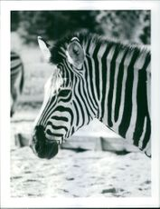 Face of the zebra.