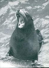 Sea lion with open mouth.
