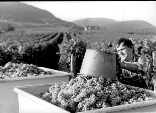 Grapes harvested at a vineyard in the Rhine Valley