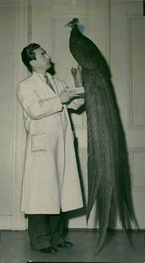 Conservator Werner Berg with a stuffed Reinhard pheasant at the National Museum of Vertebrate