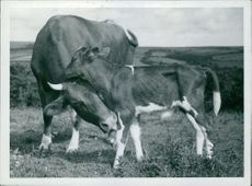 A calf and a cattle are expressing of fondness with each other.