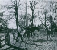 A woman with a horse and 2 ponies. 1945.