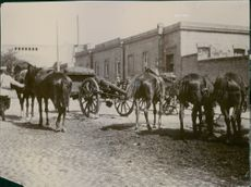 A rear view of horses in First World War.