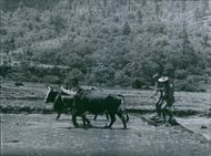 A photo of a mud is being prepared for planting out the young rice, The cattle are pulling a flat board which smooth out the surface in the field in Monba (Eastern Himalayas)