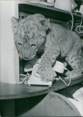 Lioness cub responding on telephone's ring on 20 January 1960.