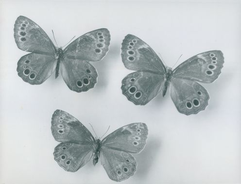 Three butterflies from the Kingdom Museum's entomological collection