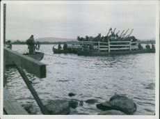 Finnish refugees aboard in boats with their horses, 1944.