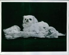 A photograph of Pekingese puppies.