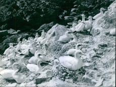 Gannets are seabirds comprising the genus Morus, in the family Sulidae, closely related to boobies.