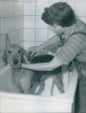 A woman washing a newly trimmed dog.