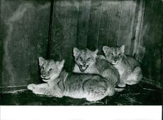 Photograph of Lion cubs.