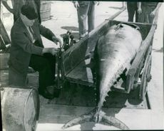 A large fish in cart.
