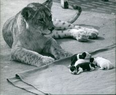 A lioness sitting beside puppies.