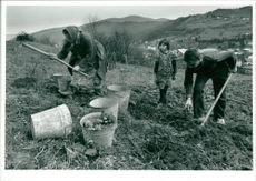 Harvesting of potatoes on a private plot of land.