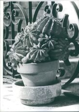 Vintage photo of a Cactus plant in pot.
