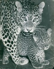 Photographer of leopard and cubs.
