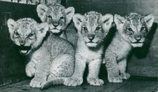 Four cute cubs in cage.