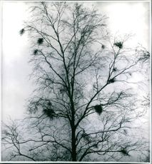 Bare tree with birdsnests against winter sky - photography by Ellen Dahlberg