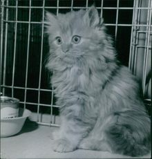 A Turkish Angora cat inside a cage.