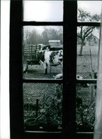 Cow and animals in the village, view through the window of the Eiffel Tower , 1964.  Jumping from Eiffel Tower