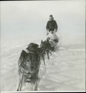 Eert Wilmer (standing) with his convoy of dogs crossing snowy field,