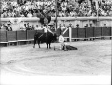 Luis Miguel Dominguín doing bull fight.