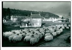 Domestic sheep are quadrupedal, ruminant mammals typically kept as livestock.