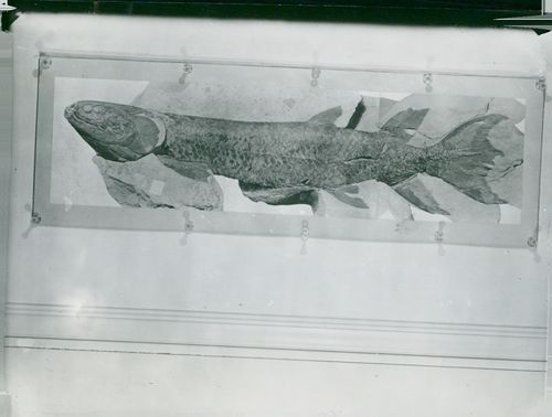 A fossil fish at the National Museum