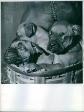 Boxer puppies cramped inside the basket.