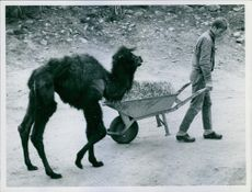 Boy holding a carrier contain hay, walking with an animal.