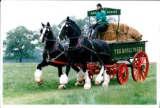 Shire horses Gaymer and Jim.