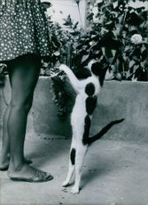 A cat standing and playing with a woman, 1971.