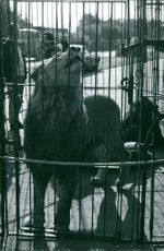 Lion trapped in cage.