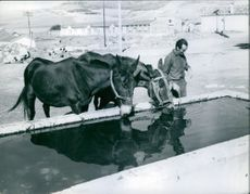 Horses drinking water from the water tub, man standing beside looking and smiling.